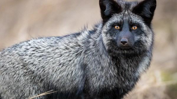 Zorro rojo melanístico (Vulpes vulpes)