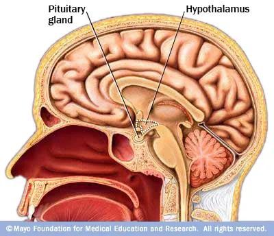 hypothalamusandpituitary