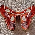 Rothschildia lebeau female