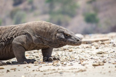 Komodo dragons on Komodo Island: Are Komodo dragons dangerous?