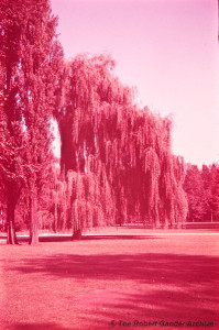 Magenta photo of large trees in a park