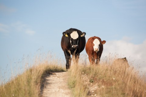 Cley Hill cows on a path