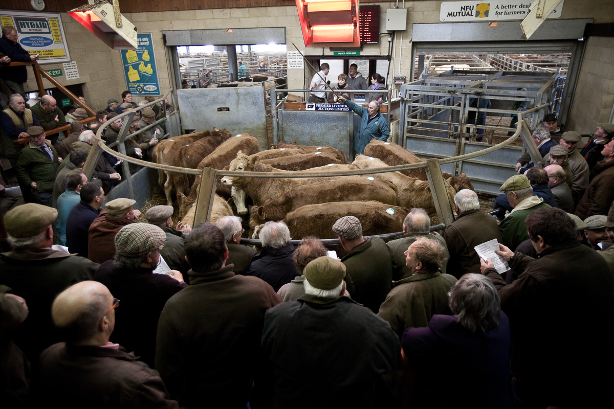 View from the rear of the auction ring showing farmers and traders, a ring full of cattle and the auctioneers at the front.