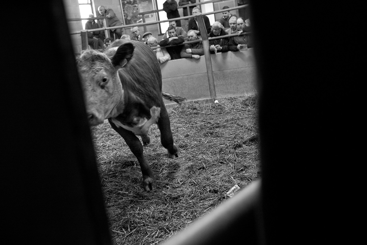 Seen through a gap in a metal gate looking into the auction ring, a cow is just movingto the left of the frame with farmers visible beyond safety railings on the far side of the ring.