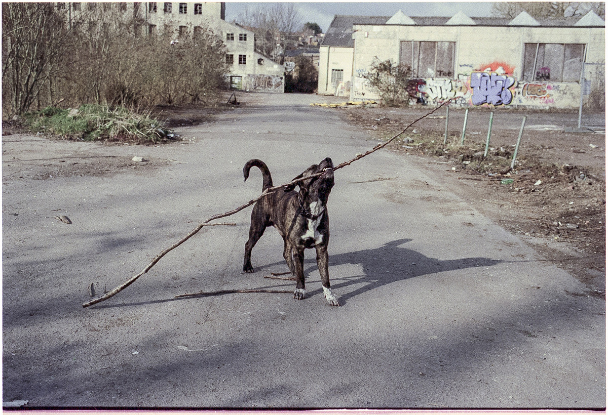 A brown dog holds a large stick in its mouth at the Saxonvale site in Frome, Somerset, UK