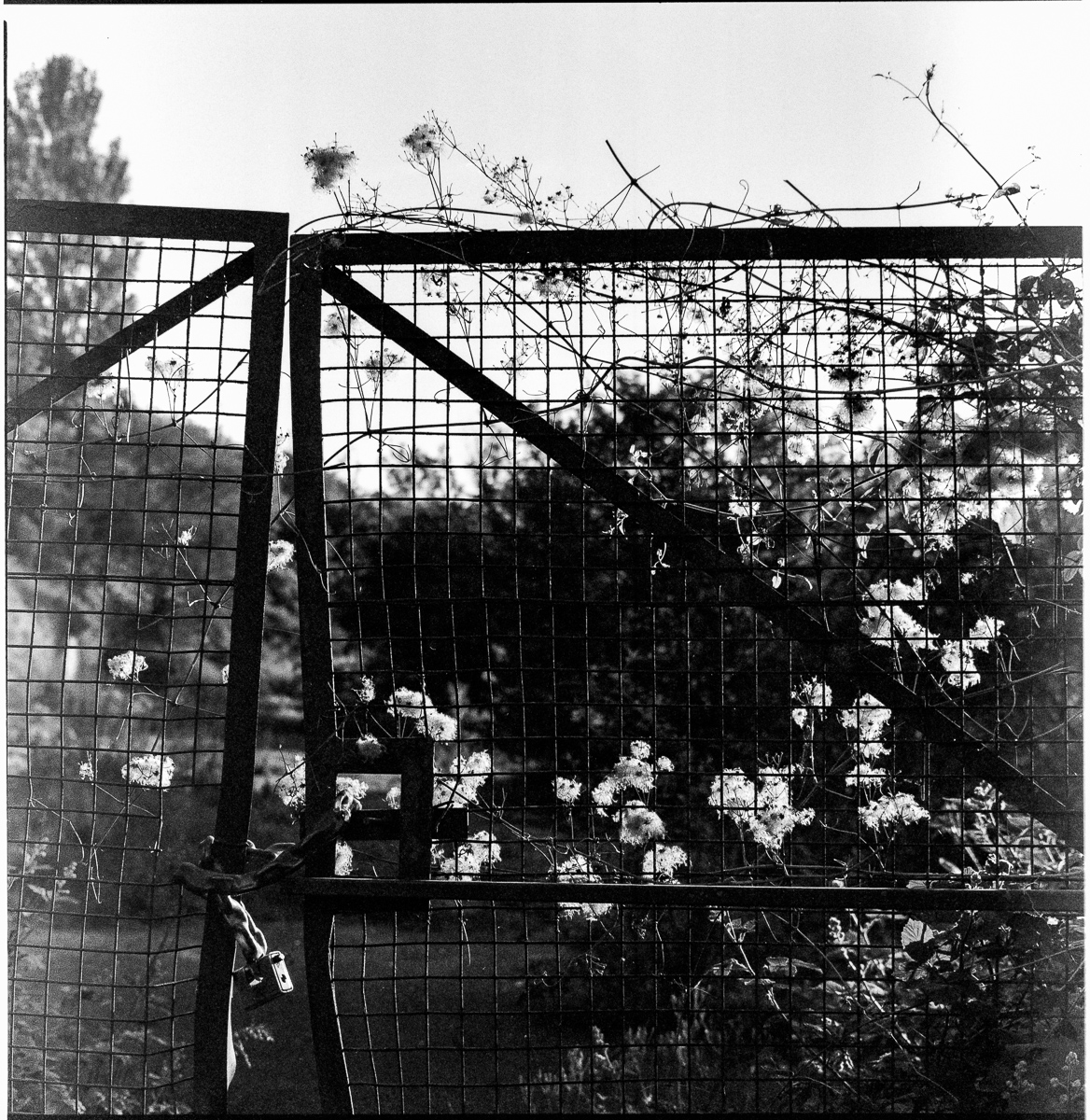 Black and white photo of bent metal yard gates with rambling weeds climbing across them and the seed heads back-lit by the sun.