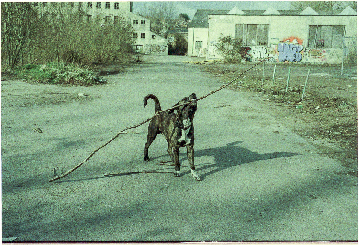 Colour photo of a large mottled brown dog lifting a very large stick in its jaws, the Saxonvale site visible behind.