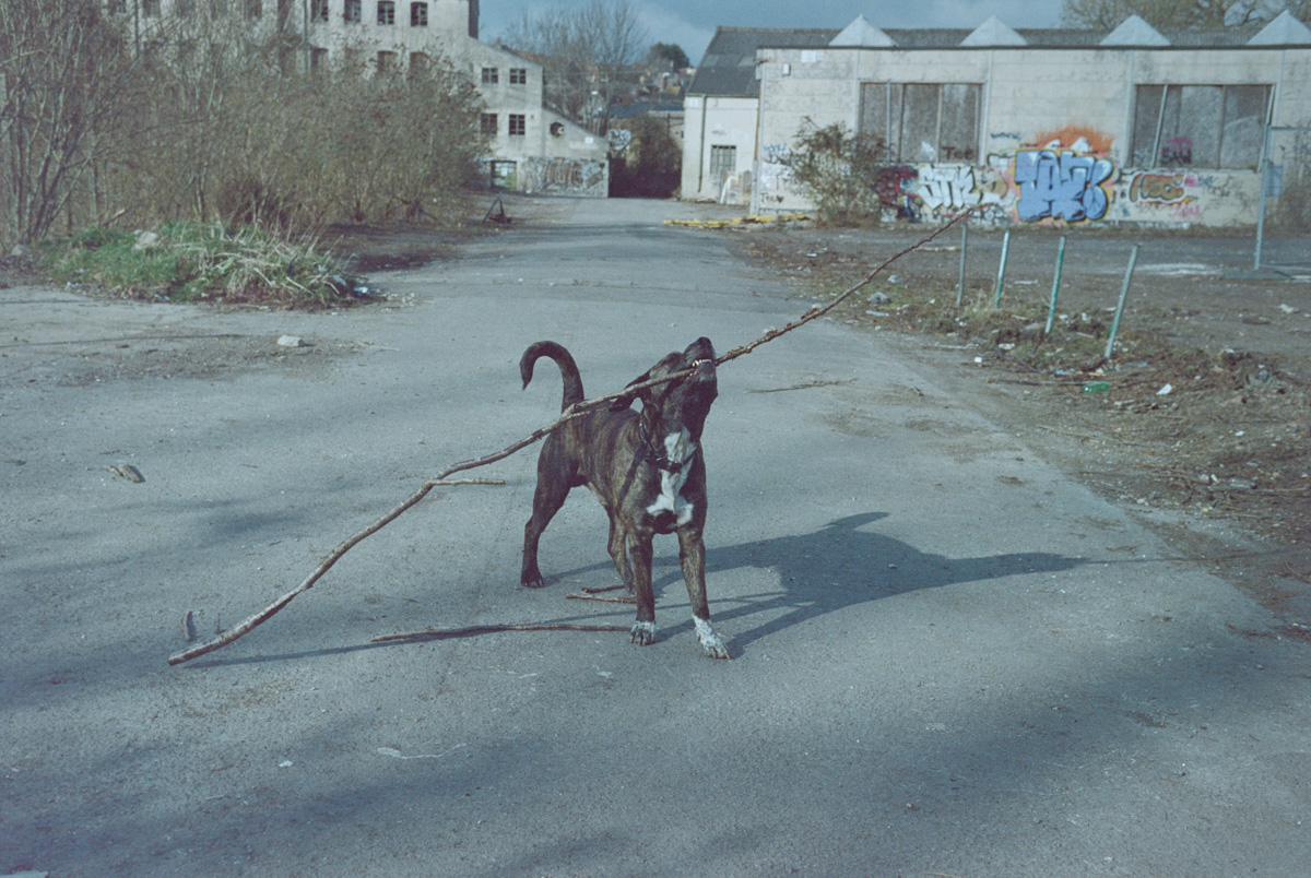 A large dog holds a stick, larger than itself, in its mouth.