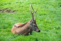 Queens Park Deer