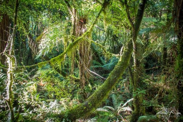 Forêt Haast