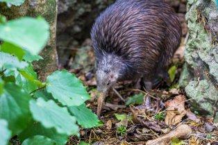 Native Bird Recovery Centre : Kiwi Sparky