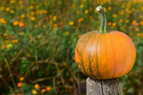 Pumpkin for Horses and Dogs