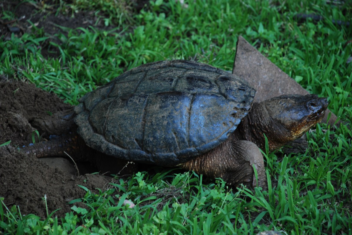 My Dogs Unexpected Encounter with a Snapping Turtle