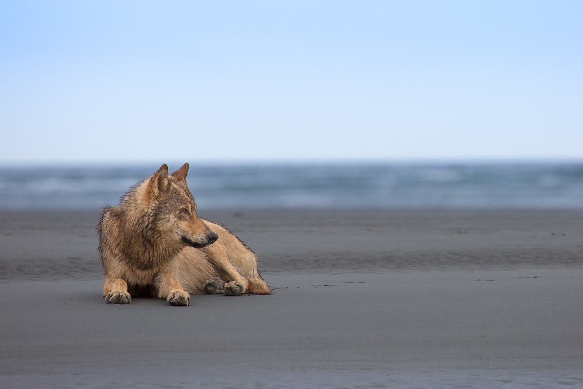 A coastal wolf lying on a beach in the Great Bear Rainforest