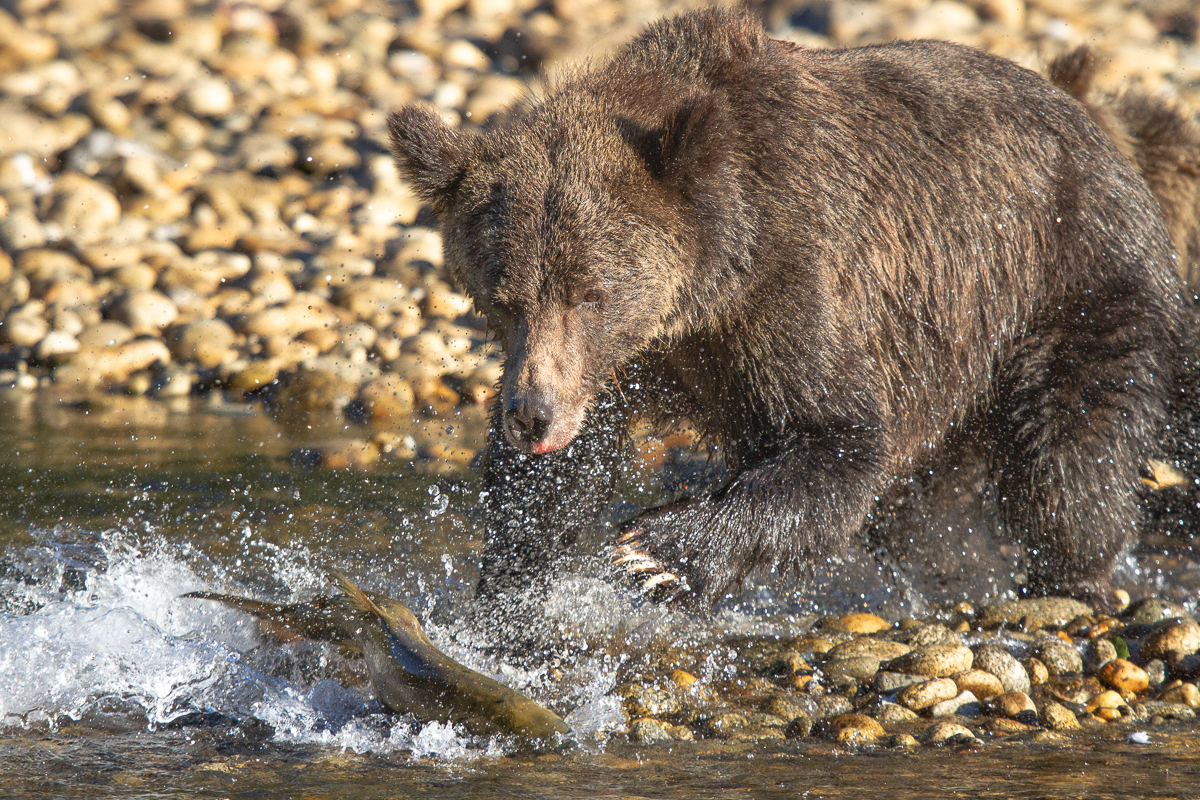 Female grizzly bear chasing a chum salmon in the Great Bear Rainforest