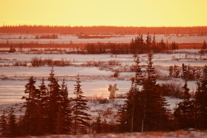 Two polar bear sparring at sunset among spruce trees near Churchill, Manitoba