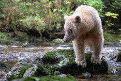 Ma'ah, a white bear, clambers over rocks by a stream of salmon.