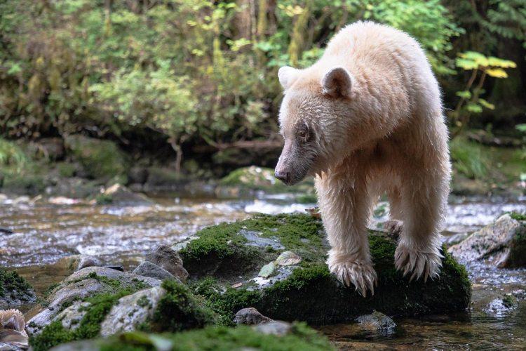 Ma'ah, a white bear, clambers over rocks by a stream of salmon.