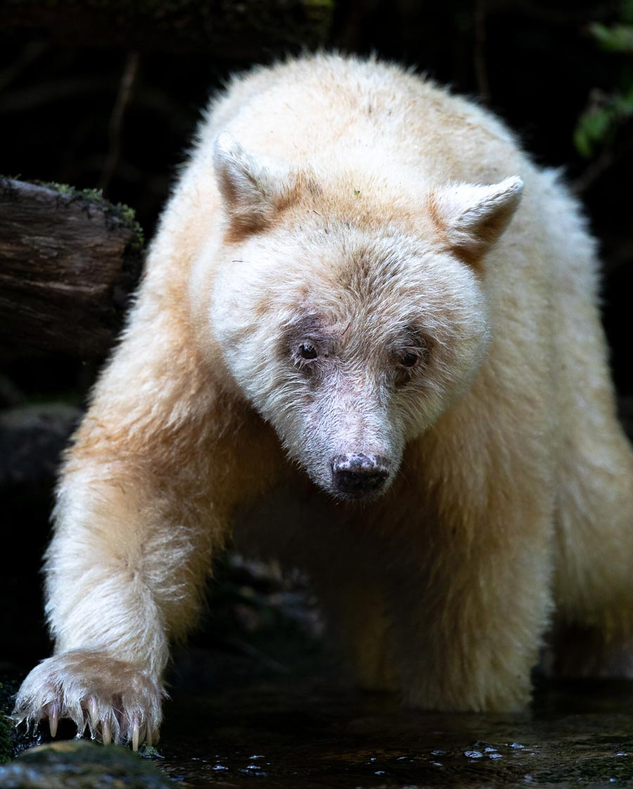 Ma'ah, an elder white bear, stands by the water watching salmon in the Great Bear Rainforest.