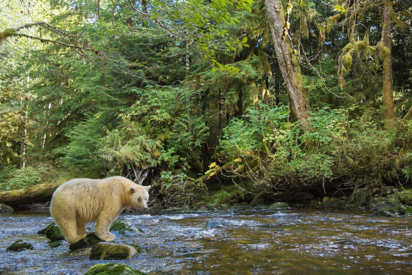 A spirit bear scanning a creek for salmon in the Great Bear Rainforest