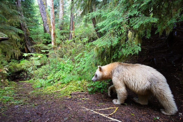 A female spirit bear locally known as Ma'ah, walking down a trail in the Great Bear Rainforest