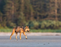 A coastal wolf walking on sand in the intertidal zone in the Great Bear Rainforest
