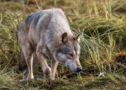 A coastal wolf prowling through sedge in a coastal estuary in the Great Bear Rainforest