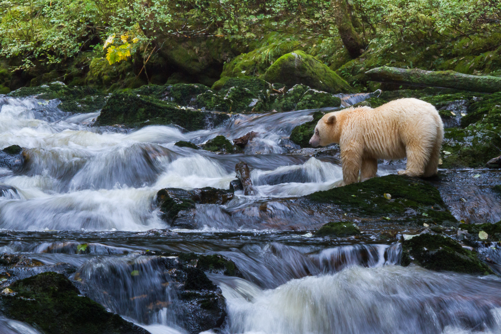 A spirit bear standing in a waterfall