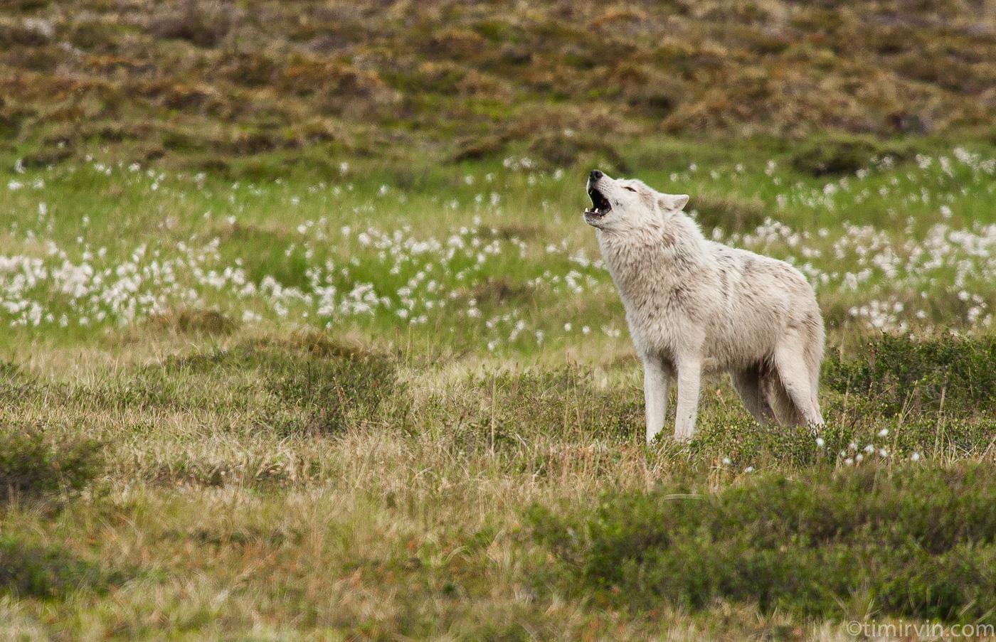 wild white wolf howling in Nunavut in arctic Canada