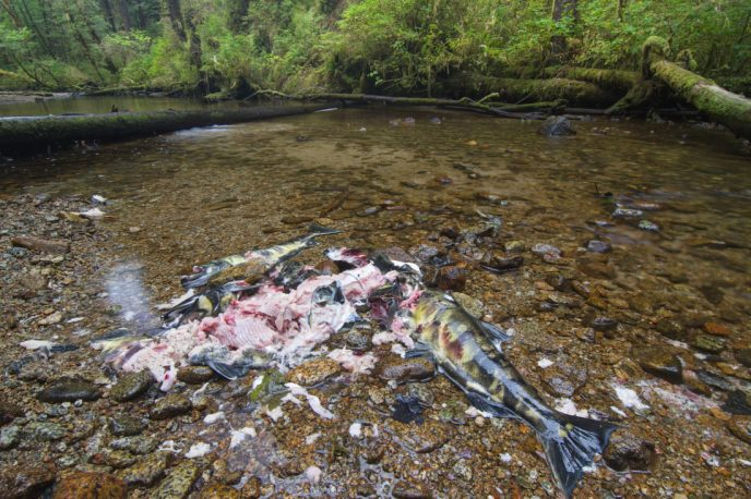 Chum salmon carcasses by the side of a stream, left behind be a feasting bear in the Great Bear Rainforest