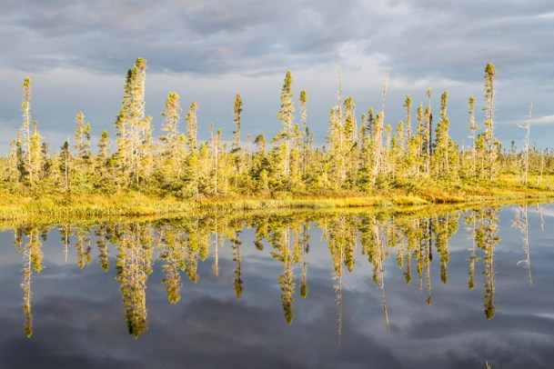 black spruce reflected in a pond in the boreal forest