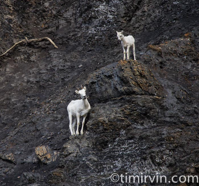 Ewe and Lamb DAll Sheep near a salt lick on the Snake River, Yukon