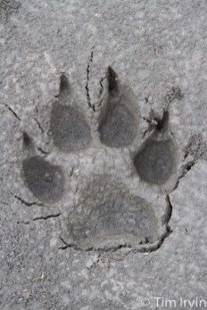 Wolf track in mud on Snake River, Yukon