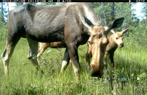 Camera trip image of moose and calf