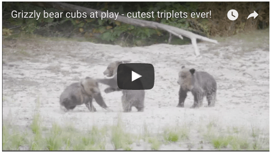 video screenshot of triplet grizzly bear cubs playing in the Great Bear Rainforest