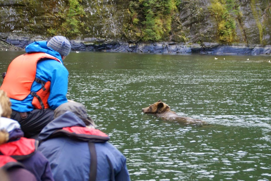 A grizzly bear swimming past zodiac