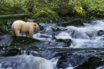 A spirit bear standing beside a waterfall looking for salmon