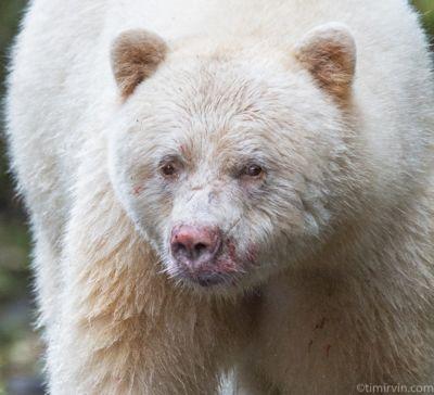 Head shot of a male spirit bear