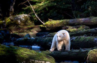 Kermode (or spirit bear) in the Great Bear Rainforest