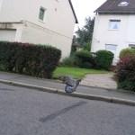 Eine Taube startet auf einer Straße