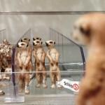 Erdmännchen-Figuren in einem Regal