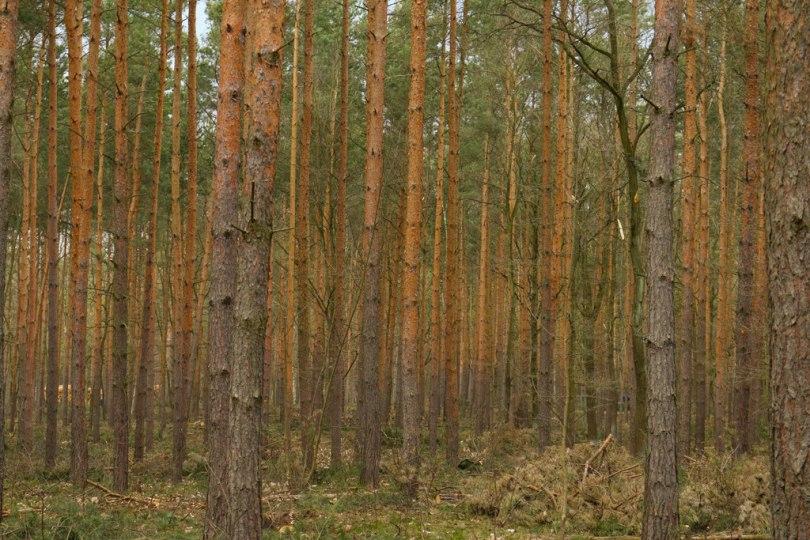 Stämme von Bäumen im Grunewald