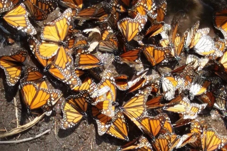 Abre sus puertas el Santuario de la mariposa Monarca de El Rosario