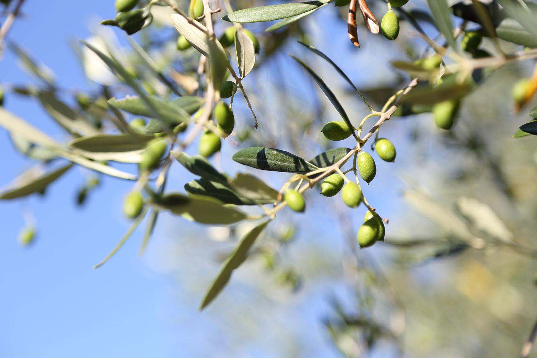 Le Mignole: dal Ponente Ligure tutta la fragranza dell'olio extra vergine di oliva