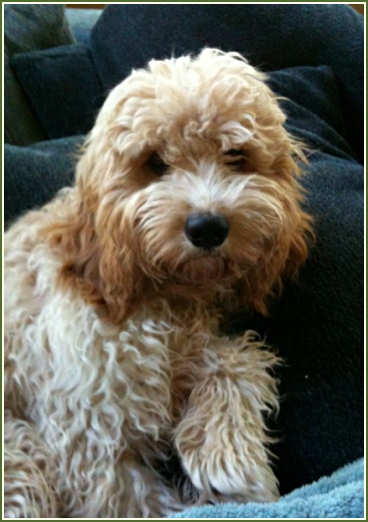 Timshell Farm Golden Cavadoodle Puppies Zoe