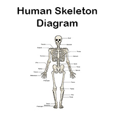 human skeletal system diagram labeled printable    human    skeleton    diagram       labeled     unlabeled  and  printable    human    skeleton    diagram       labeled     unlabeled  and