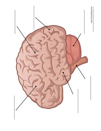 Brain Diagram - Unlabeled - Tim's Printables