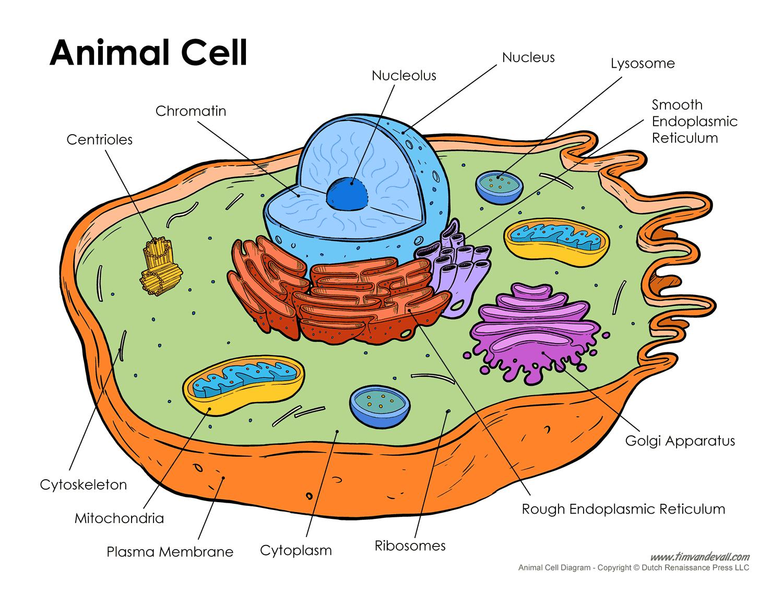 animal-cell-diagram - Tim's Printables