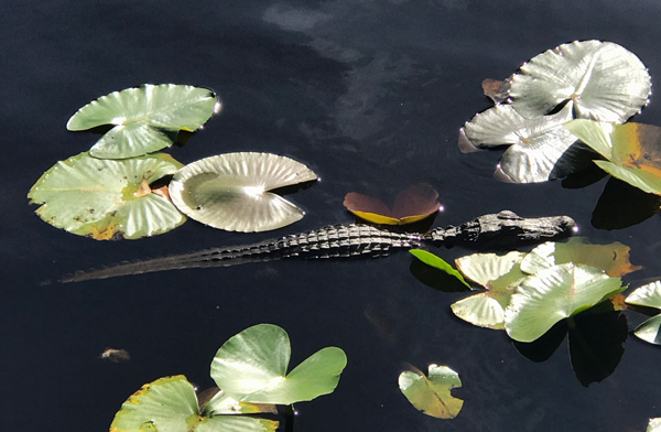 baby-alligator-600