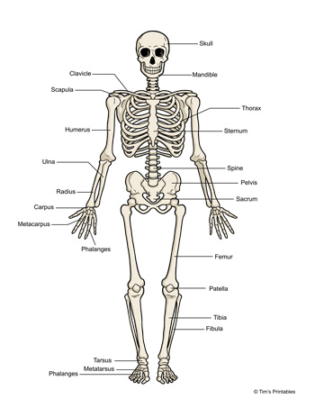 human-skeleton-diagram